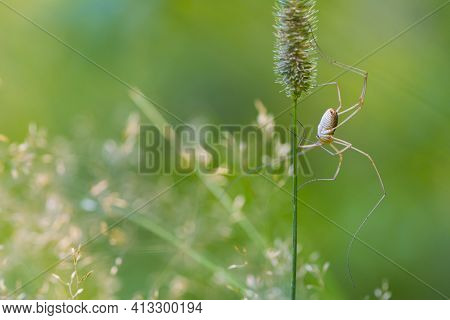 Pholcus Phalangioides. Spider Pholcidae Sits On The Grass On A Green Background. Spider With Long Le