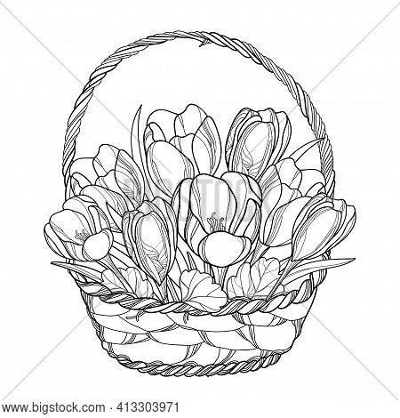 Vector Spring Bouquet With Outline Crocus Or Saffron Flower In Wicker Basket In Black Isolated On Wh