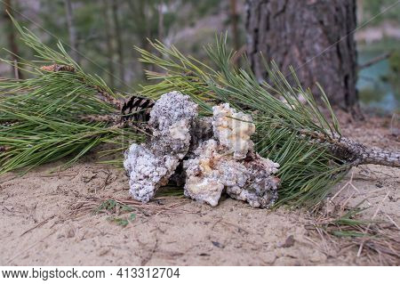 Green Pine Branch With Large Fractions Of Gum Resin For Healing Tree Wounds. Background.