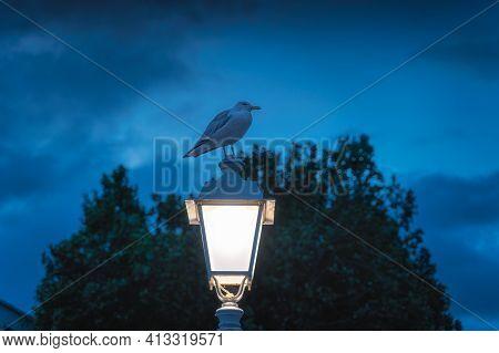Singe Seagull, From Sternidae Family, Sitting On Lit Lamp Of Ha Penny Bridge On Tempel Bar Street At