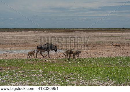 Wild Wildebeest Gnu Standing In Savanna Of Etosha National Park, Namibia. Africa