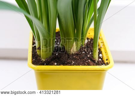 Close Up View Of Narcissus Potted Bulbs, Growing Bulb Spring Flowers, Gardening Concept