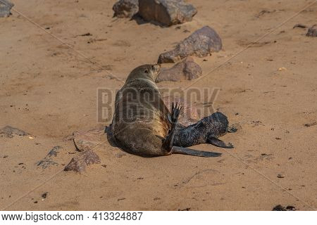 Fur Seals Mother And Baby At Cape Cross At The Skelett Coastline Of Namibia, Cape Cross Is The Large