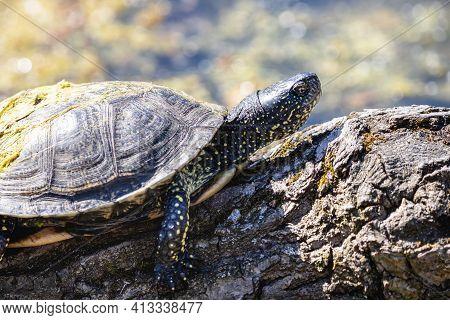 European Pond Turtle Sunbathing On The Mossy Log. European Pond Terrapin Or Tortoise With Yellow Spo