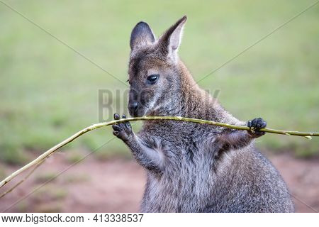 Cute Red-necked Wallaby Holding Green Twig In Black Paws. Small Kangaroo Bennett's Wallaby (macropus
