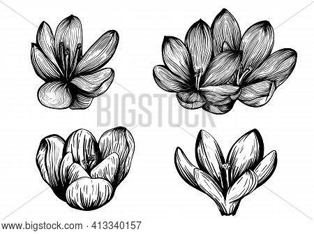 Saffron Flower Set. Crocus Flower Sketch. Hand-drawn Vector Illustration