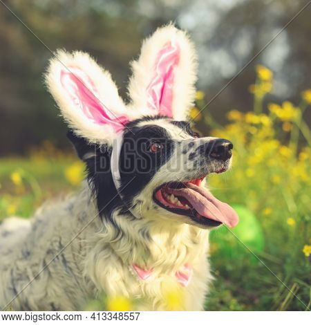 Panting border collie dog wearing pink Easter bunny rabbit ears having fun outside laying in flowers.
