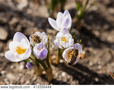 Several Bees On Blue Crocuses Collect Pollen In The Spring Garden. The Spring Bloom Of Crocuses And