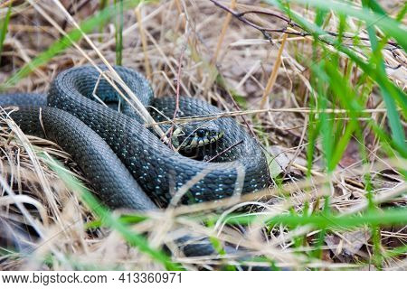 Grass-snake laying in the yellow dry grass. Snake close up photo