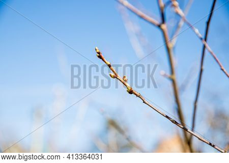 Green Buds On Branches In Spring. Nature And Blooming In Spring Time. Bokeh Light Background.closeup