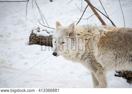 Portrait Of A White Arctic Wolf In The Winter Forest. An Old Wolf With A Sad Look