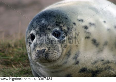 Grey Seal (halichoerus Grypus) Pup Headshot At Donna Nook Nature Reserve In Lincolnshire, England, U