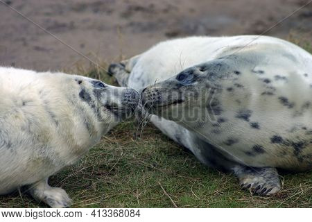 A Pair Of Seal Pups Sniffing Each Other At The Donna Nook Nature Reserve In Lincolnshire, England, U