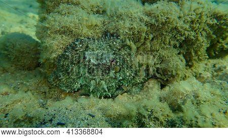Common Octopus (octopus Vulgaris) Undersea, Aegean Sea, Greece, Halkidiki