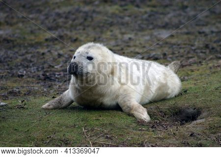 Newborn Grey Seal Pup Alone And Alert On Some Grass At The Donna Nook Nature Reserve, Lincolnshire,