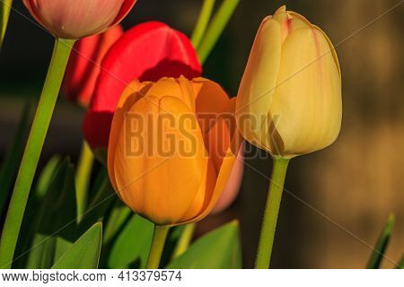 Slightly Open Flowers Of The Plant In Spring. Yellow Orange And Red Flower Heads Of Tulips In Sunshi