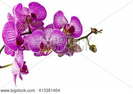 Branch Of Orchid Phalaenopsis Isolated On White Background