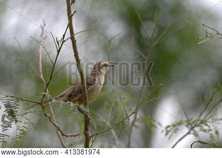 View Of A Chalk-browed Mockingbird, Mimus Saturninus, Observing