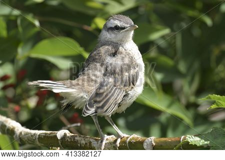 A Juvenile Chalk-browed Mockingbird, Mimus Saturninus, Perched