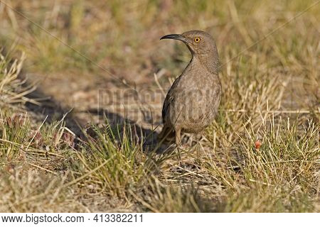 View Of A Curve-billed Thrasher, Oxostoma Curvirostre, Observing