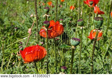 Poppy Flowers Or Papaver Rhoeas Poppy In Garden, Early Spring On A Warm Sunny Day, Bright Beautiful
