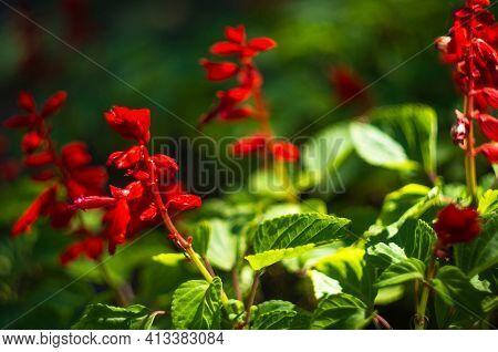 Scarlet Sage, Salvia Splendens, Vista Red, Tropical Sage, Bright Red Flowers And Green Sage Leaves I