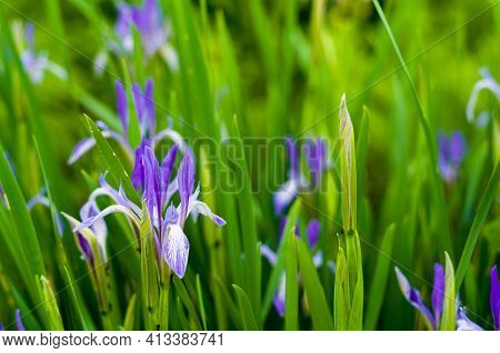 Blooming Purple Irises In Early Spring, Warm Sunny Day, Bright Beautiful Background