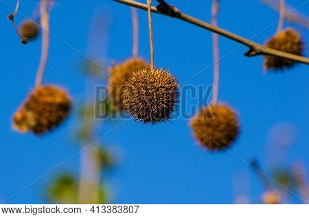 Fruits On The Branches Of A Plane Tree Or Platanus In The Park, Early Spring On A Warm Sunny Day, Br