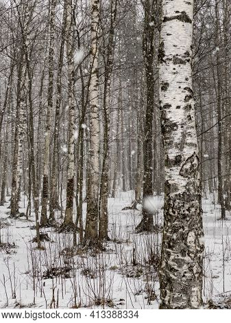 A Heavy Snow Goes In The Wood, Large Flakes Of Snow, Wild Park, Winter Trees, The Massif From A Trun