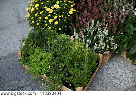 Green Herbs - Melissa, Mint, Thyme, Rozmarin In Pots. Kitchen Herb Plants In Square Boxes In Garden.