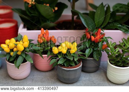 Decorative Small Colorful Jalapeno Peppers Grow In Clay Pots In Home Mini Garden. Ripe Chili On Bran