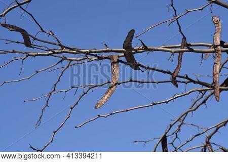 Thornless Honey Locust Bare Branches With Seed Pod - Latin Name - Gleditsia Triacanthos F. Inermis