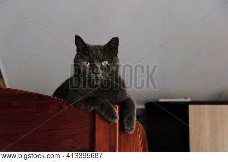 Young British Blue Shorthair Cat Lies On The Second Tier Of The Baby Bed. Gray Cat Lying With Dangli
