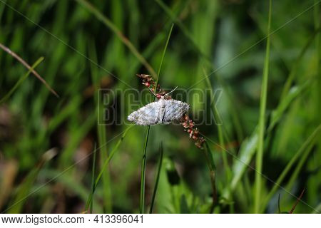 Picturesque White With Black Stripes And Dots Butterfly Cataclysta Lemnatain Green Background. Small