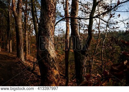Intertwined Tree Trunk, Close View Of A Malformed Growing Tree Trunk With A Twisted Pattern Along Th