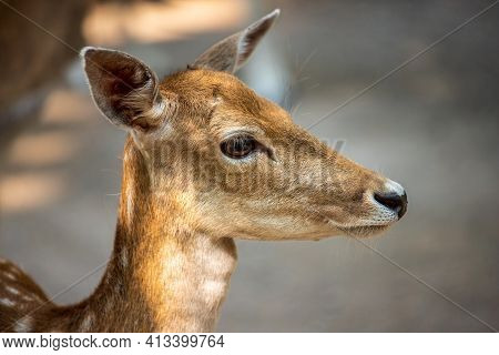 Portrait Of Female European Fallow Deer On The Meadow. Photography Of Lively Wildlife.