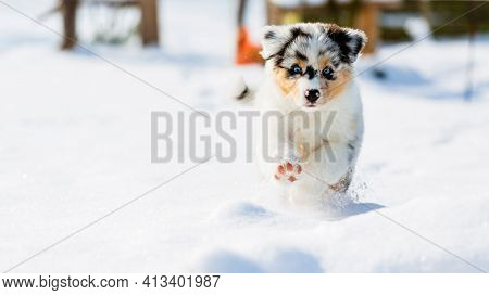 Australian shepherd puppy running in fresh snow in the garden.