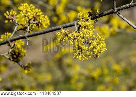 Flowers Of Cornus Mas (cornelian Cherry, European Cornel Or Cornelian Cherry Dogwood)
