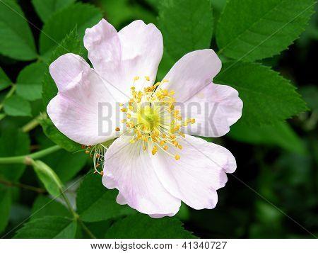 pretty pink flower of wild rose