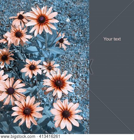 Flowers Of Rudbeckia Hirta Against Grass. Color Toning, Space For Text