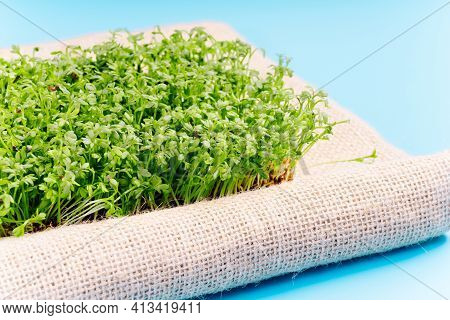 Planting Microgreens.microgreen Sprouts Raw Sprouts, Healthy Eating Concept .young Microgreen Sprout