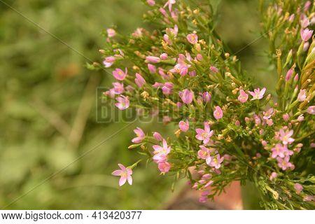 Common Centaury Flowers.common Centaury - Centaurium Erythraea.