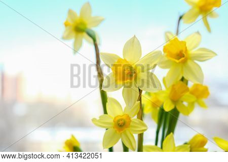 First Spring Yellow Blooming Flowers Narcissus Close Up With Copy Space