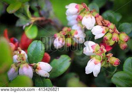 Delicate Pink And Cream Flowers On Cranberry Plants.
