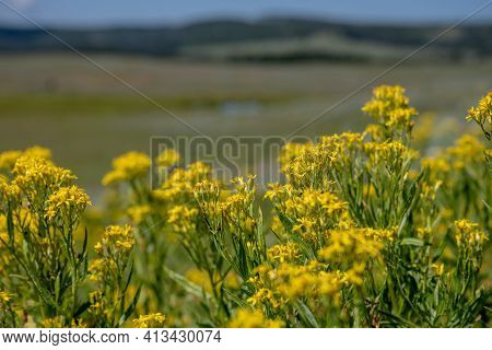 Detail Of Goldenrod Flower Blossoms With Blurry Yellowstone Behind