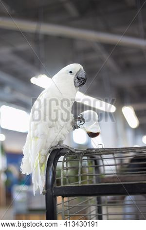 White Cockatoo Sits On Cage And Looks At The Camera And Drinks Coffee From A Plastic Cup. Playful An