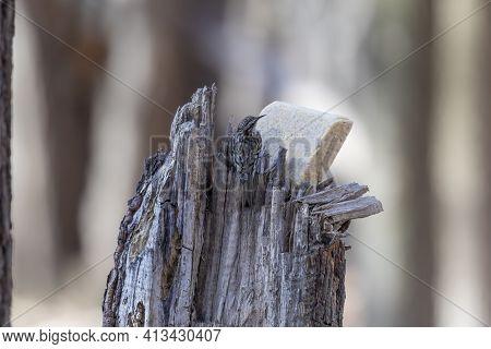 The Brown Creeper (certhia Americana), Also Known As The American Treecreeper.