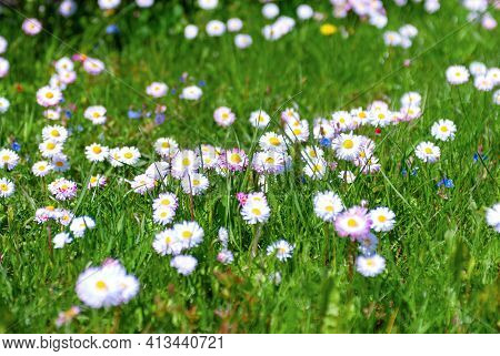 A Lot Of White And Pink Flowers Of Daisies On A Green Lawn. Daisy Flower - Wild Chamomile. White And