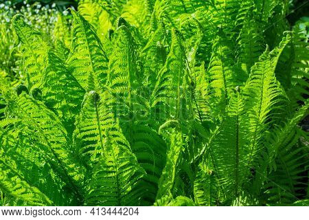 Bright Green Fern (latin: Matteuccia Struthiopteris) Leaves. Fern Glade In The Forest. Leafs Fern Cl