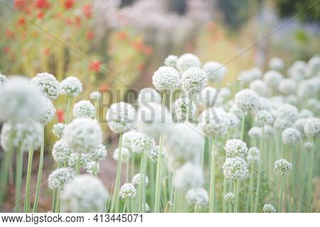 Allium Shallot Onion Garlic Chives Scallion Leek Flower Growing In Field